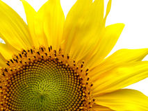 Sunflower. Close-up on a white background Royalty Free Stock Photography