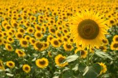 Sunflower. Beautiful yellow very large sunflower Stock Photography