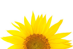 Sunflower. S isolated on white background Stock Photography