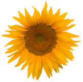 Sunflower. Yellow sunflower isolated on white Royalty Free Stock Photos