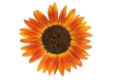 Sunflower. A single orange sunflower isolated on white Royalty Free Stock Photography
