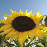 Sunflower! Stock Images
