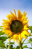 Sunflower. Standing Tall against Blue Sky Royalty Free Stock Photography