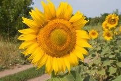 Sunflower. On background blue sky Royalty Free Stock Photo