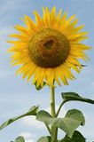 Sunflower. Beautiful yellow large sunflower against blue sky Royalty Free Stock Images