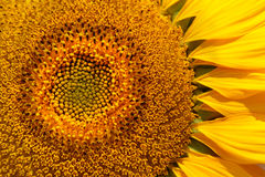 Sunflower. Close-up of beautiful yellow sunflower Royalty Free Stock Images