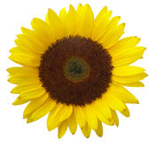 Sunflower. Sonflower on blue Royalty Free Stock Photos