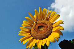 Sunflower. A sunflower blooming in the sun Royalty Free Stock Image