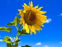 Sunflower. One sunflower on a background sky Stock Photos