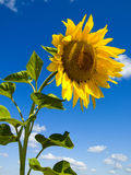 Sunflower. One sunflower on a background sky Stock Images