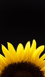 Sunflower. Detail of partial yellow sunflower isolated on black background Stock Images