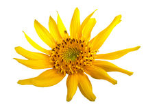 A sunflower. On white background Stock Images