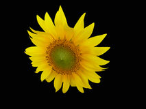 Sunflower. A yellow sunflower on a black background Stock Image