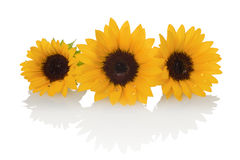 Sunflower Stock Photos