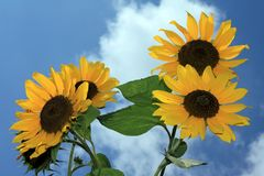 Sunflower. Blooming sunflower in the summer Royalty Free Stock Photos