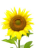 Sunflower. Close-up on a white background Royalty Free Stock Photo