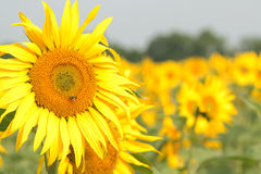 Sunflower. On the growing field under the blue sky Stock Photos