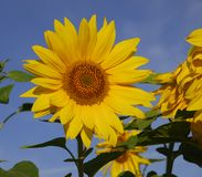 Sunflower. A sunflower on a background of the blue sky royalty free stock images