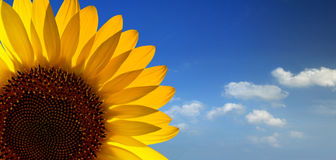 Free Sunflower Stock Photos - 10772593
