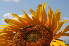 Sunflower. At summer in Turkey Royalty Free Stock Photos