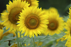Sunflower. A group of sunflowers stock photography