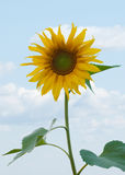 Sunflower. On the blue sky and clouds Royalty Free Stock Image