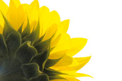 Sunflower. One sunflower on isolated fone Royalty Free Stock Images