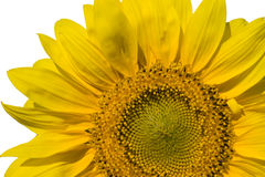 Sunflower. One sunflower on isolated fone Royalty Free Stock Photography