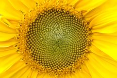 Sunflower. Detailed structure of young sunflower Royalty Free Stock Photography