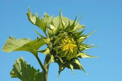 Sunflower. Detailed structure of young sunflower Royalty Free Stock Images