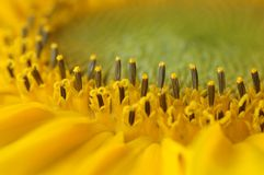 Sunflower. Detailed structure of young sunflower Stock Image