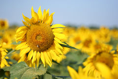 Sunflower. Bright yellow sunflower in a field with beautiful blue sky Royalty Free Stock Photo