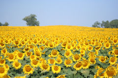 Sunflower. Bright yellow sunflower in a field with beautiful blue sky Royalty Free Stock Photography