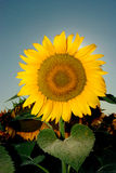 Sunflower 11. Sunflower blossom in field with sky on back Stock Photo