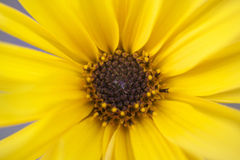 Sunflower. Yellow flowers leaves in late summer Royalty Free Stock Photography