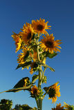 Sunflower. Close up of sunflower crop in the blue sky Stock Photo