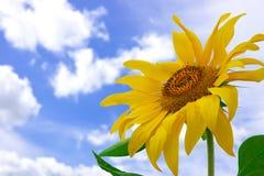 Sunflower. Amazing large sunflower and blue summer sky background Royalty Free Stock Photography