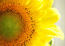 Sunflower. A closed view of a sunflower royalty free stock images