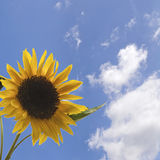 Sunflower. In blue sky with amazing colors Royalty Free Stock Photo