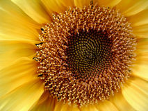 Sunflower. Macro of the center of a sunflower Stock Photo