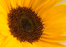 Sunflower. Macro photo of a sunflower, binomial name is Helianthus annuus royalty free stock images