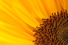 Sunflower. Macro photo of a sunflower, binomial name is Helianthus annuus royalty free stock photos