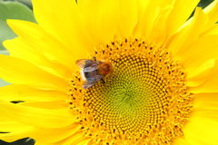 Sunflower. Royalty Free Stock Photography