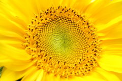 Sunflower. Royalty Free Stock Photos