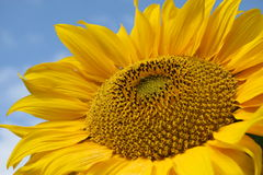 Free Sunflower. Stock Photo - 1130470