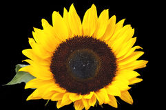 Sunflower. With the black background Royalty Free Stock Image