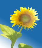 Sunflower. A brightly lit sunflower, against the backdrop of a blue sky Stock Photo