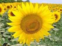 Sunflower. The sunflower grows in the field Stock Photography