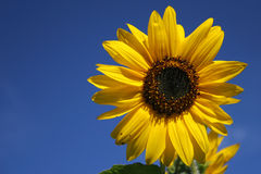 Sunflower. On dark blue sky Royalty Free Stock Image