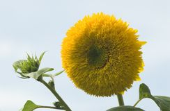 Sunflower. A bright yellow sunflower faces a newly emerging bud stock photo